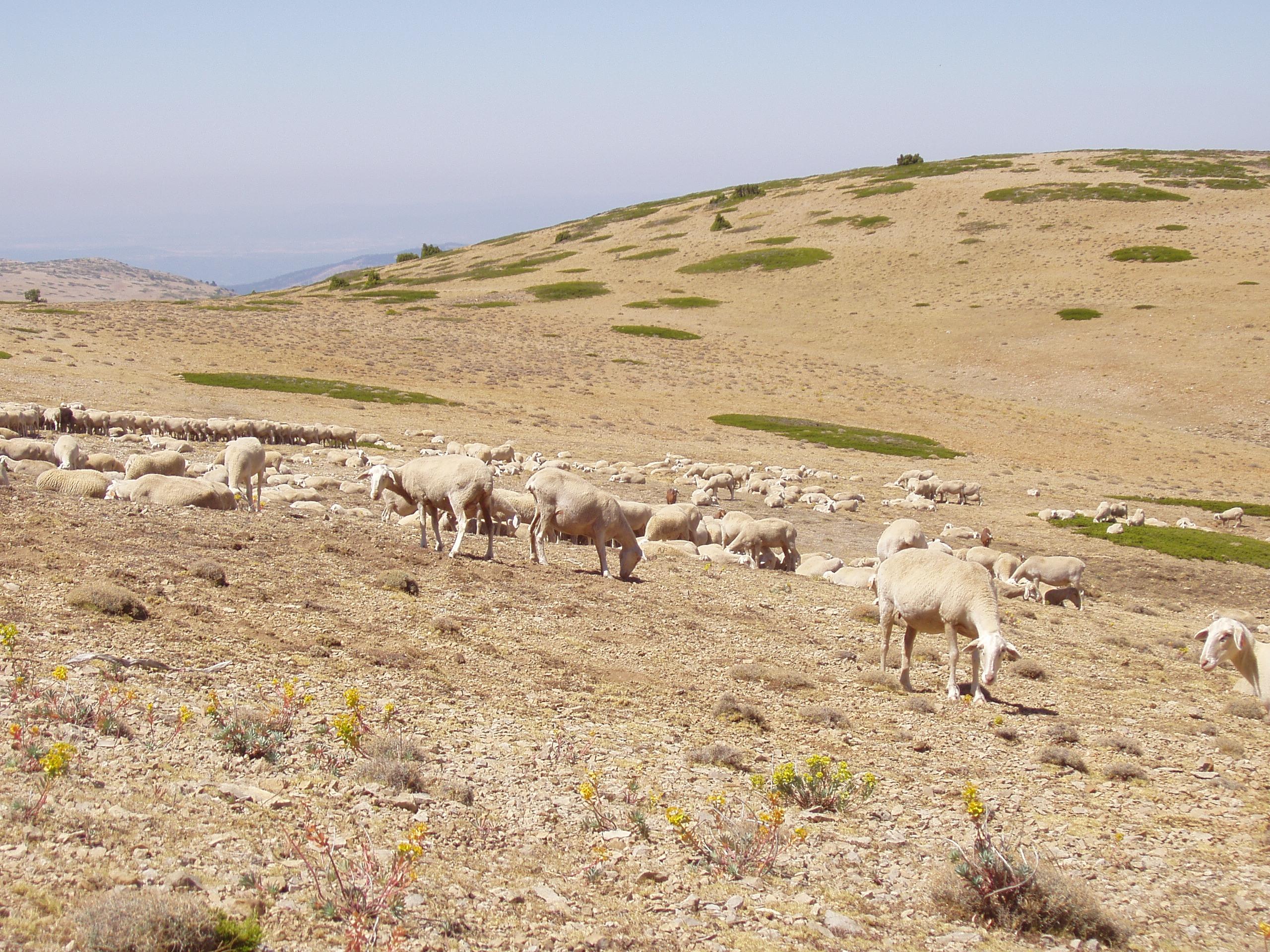 La fertilidad media del ovino en Aragón