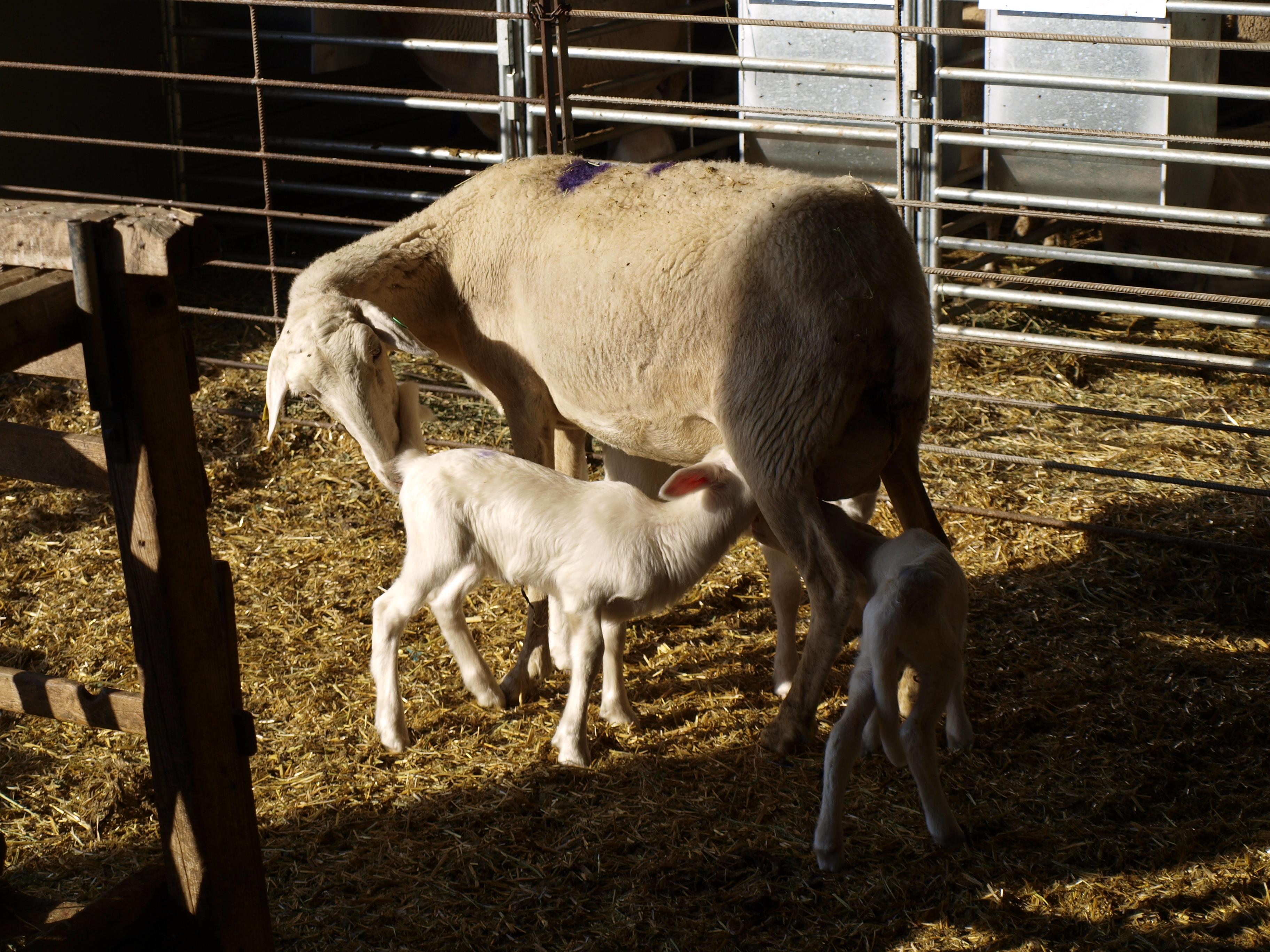 Un trabajo de fin de grado en Veterinaria concluye que los ganaderos de la Asociación Nacional de Criadores de la raza Rasa Aragonesa ANGRA están satisfechos con la utilización de ovejas portadoras del Gen ANGRA Santa Eulalia (GASE).