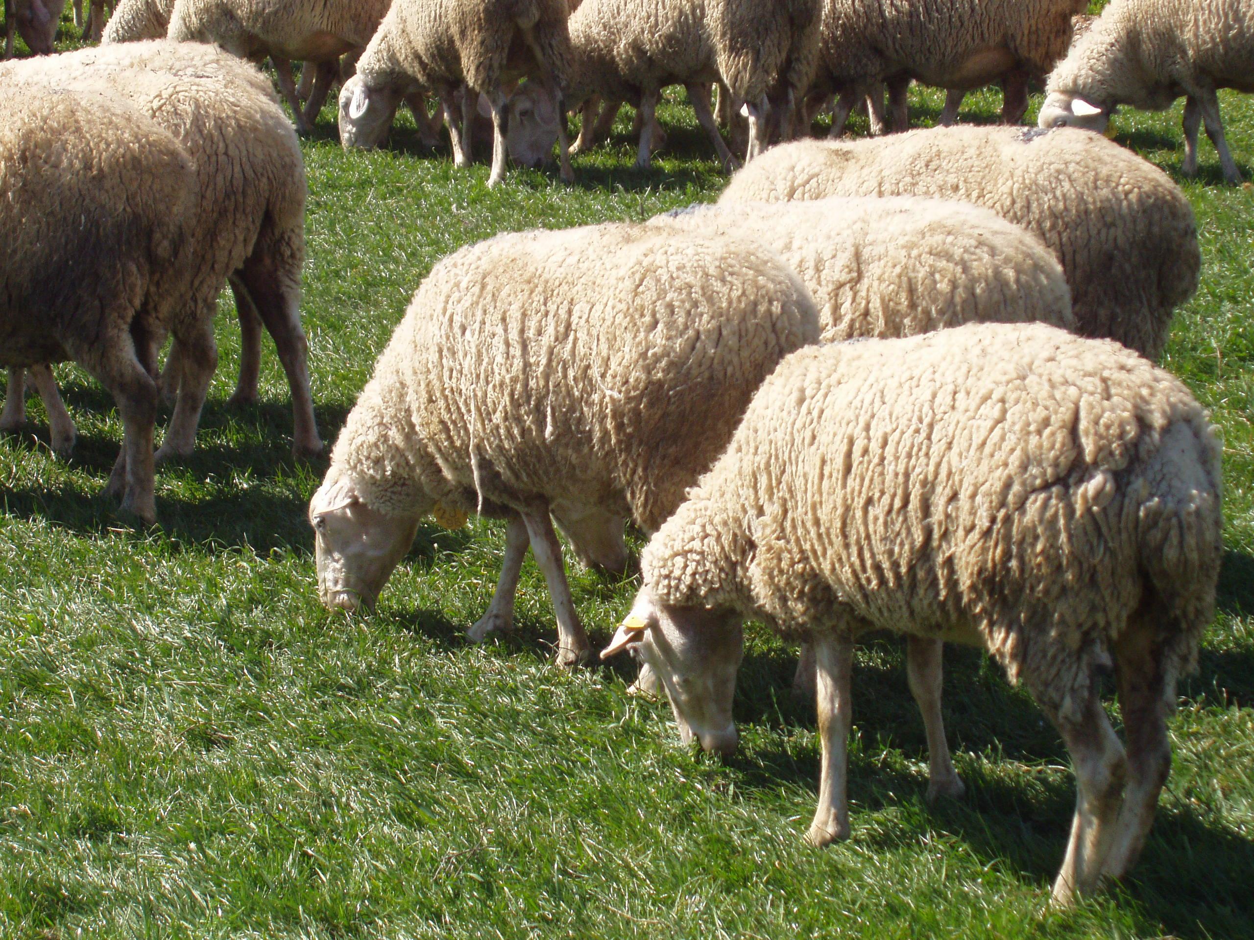 10 millones de euros para el ovino y caprino