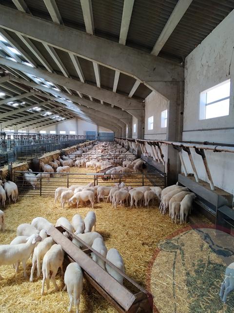 La producción de carne de ovino en Aragón aumenta en el último año